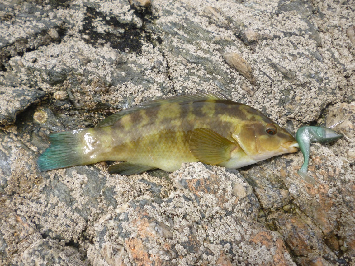 wrasse on lures