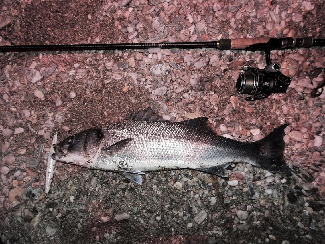 Bass on needlefish