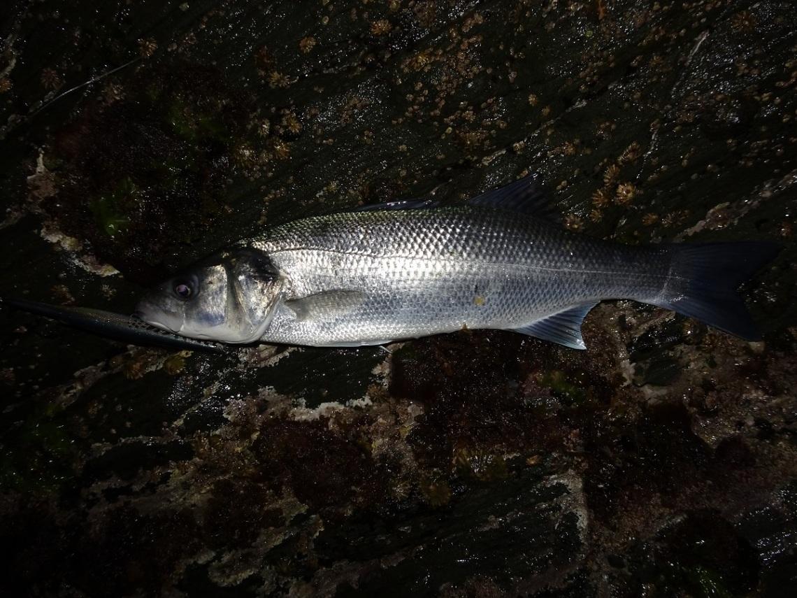 Bass caught on a squid needlefish