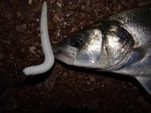 wave worm 5 inch senko bass